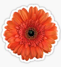 orange gerbera daisy flower floral sticker Sticker