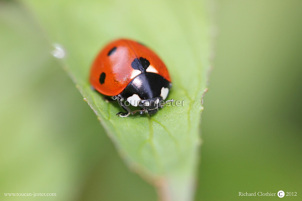 Ladybird on mint leaf Coccinella 7-punctata by toucanjester