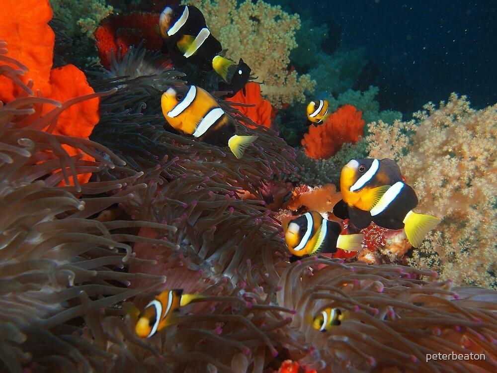 anenome fish family by peterbeaton