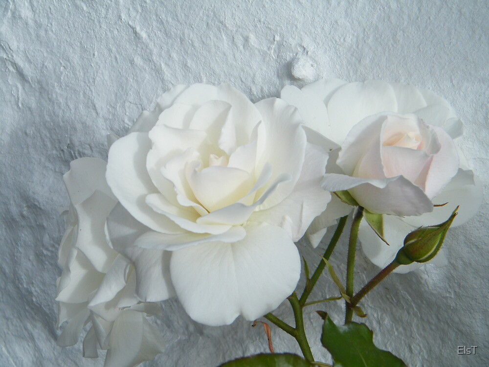 White rose on white wall by ElsT