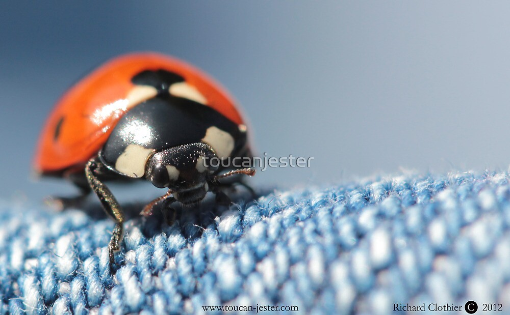 Ladybird Coccinella 7-punctata  by toucanjester