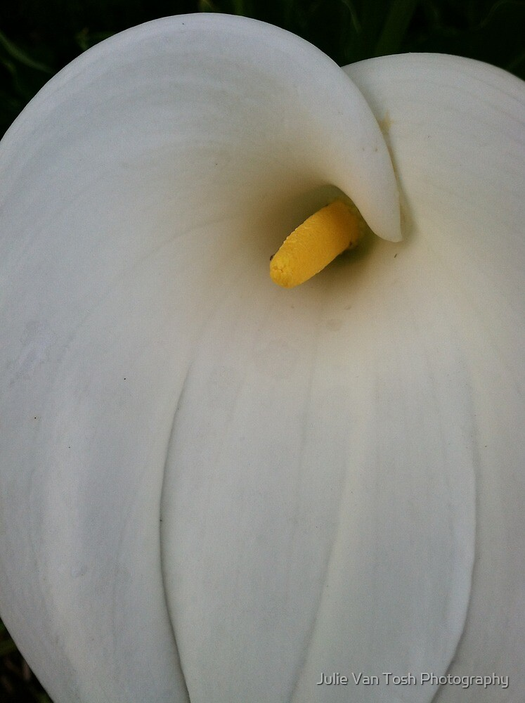Calla lily by Julie Van Tosh Photography
