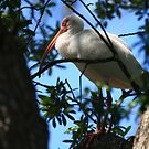 """  White Ibis  "" by fortner"