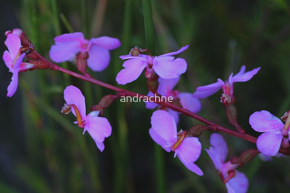 Stylidium graminifolium by andrachne