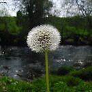 Dandelion by missemilyo