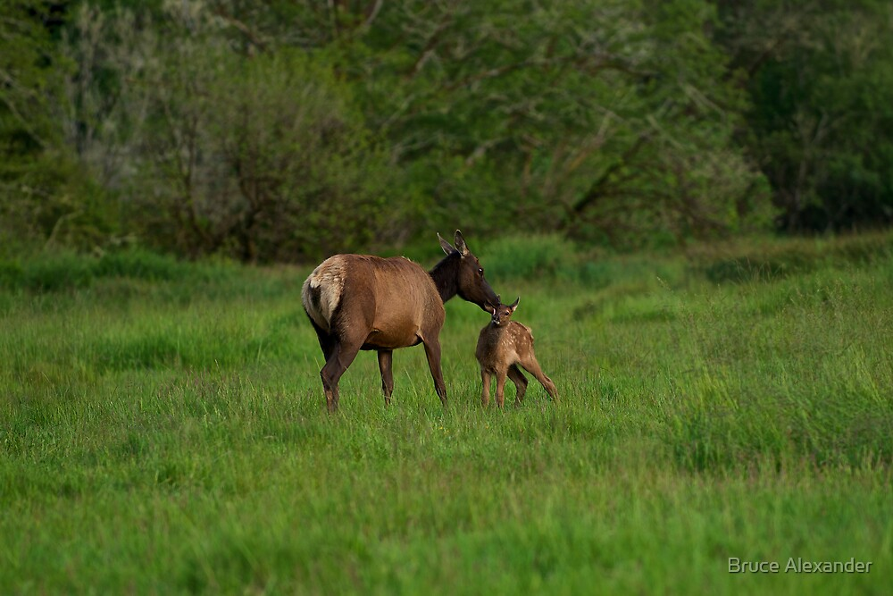 Mother and Baby Elk by Bruce Alexander