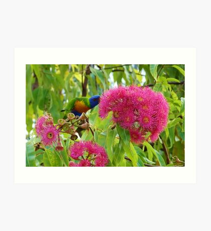 Rainbow lorikeet feeding on native blossoms Art Print
