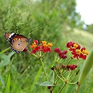 Butterfly feasting by Sue Downey