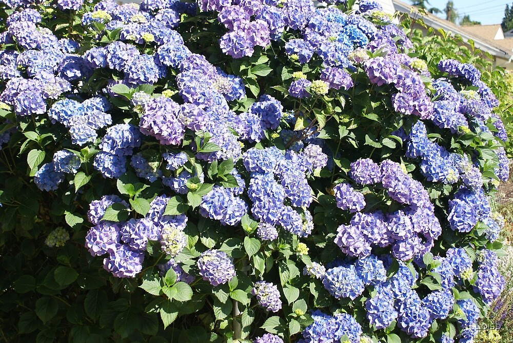 Blue Hydrangea by Loisb