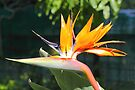 Bird of Paradise or Crane Lily by Carole-Anne