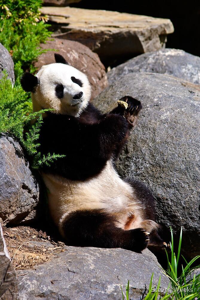 Panda, Adelaide Zoo by Steven Weeks