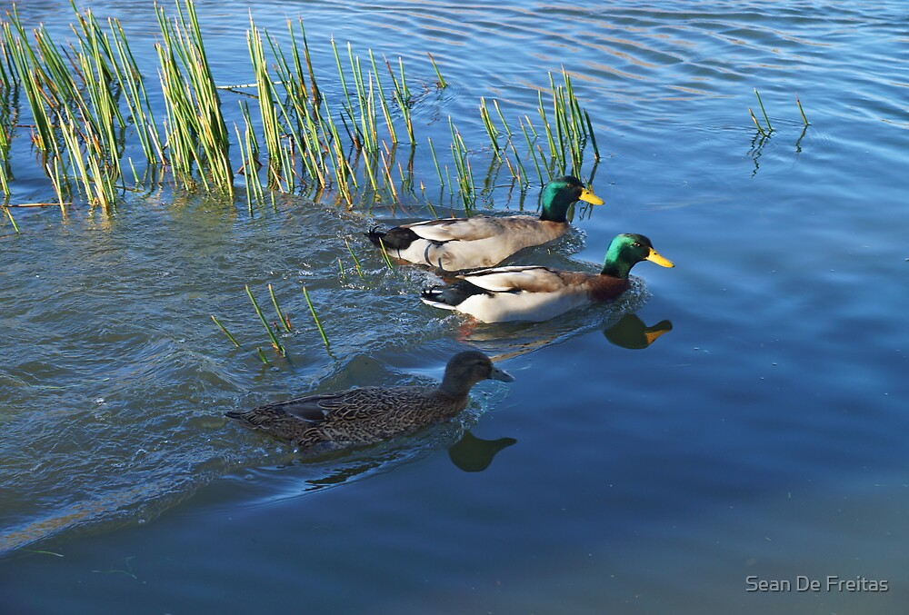 Duck on the go - South Esk River, Longford, Tasmania by PC1134