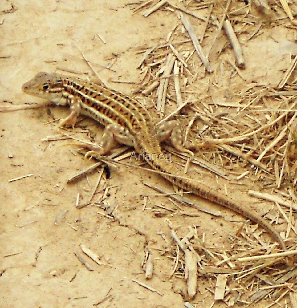 Spiny-footed Lizard by Arianey