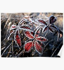 Frost rimmed red leaves Poster
