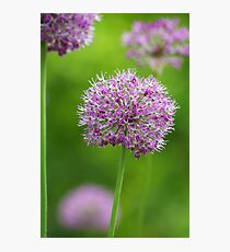 Allium Photographic Print