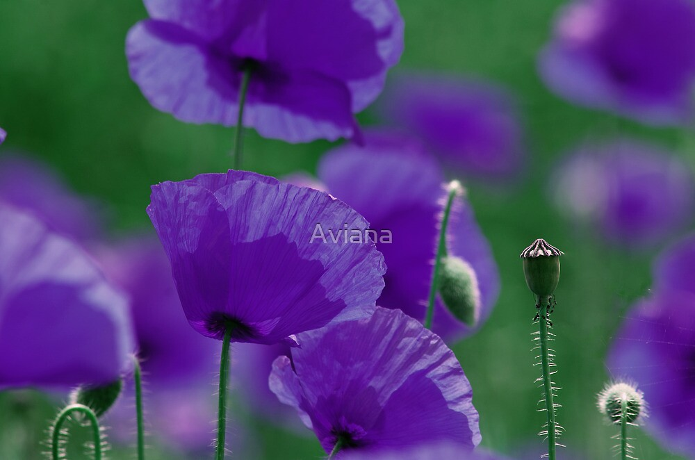 violett Mohn Art by Aviana
