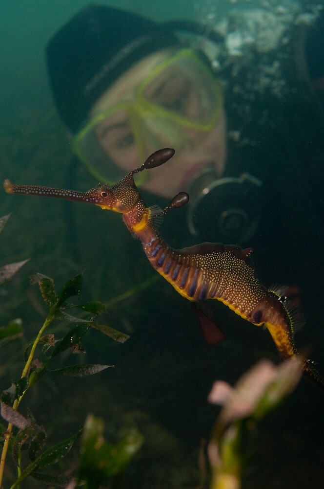 Taming the Weedy Sea Dragon by Mark Elshout