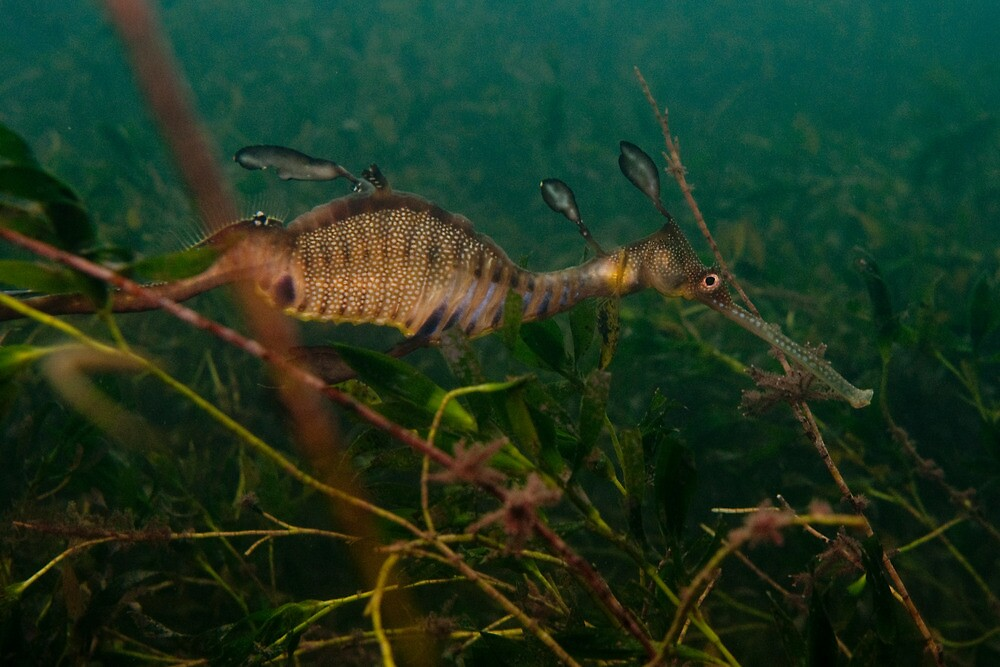 Taming the Weedy Sea Dragon #2 by Mark Elshout