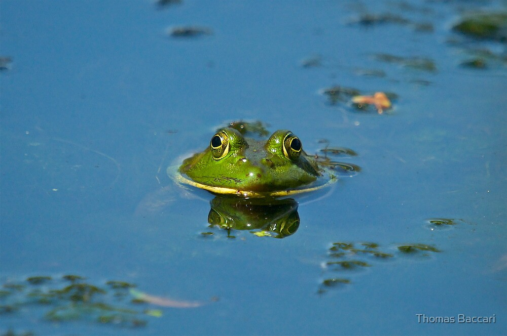 BULL FROG by TJ Baccari Photography