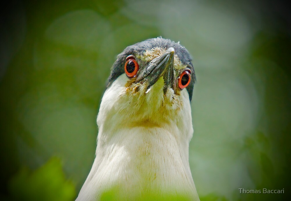 LOOK INTO MY EYES said the Black Capped Night Heron by TJ Baccari Photography