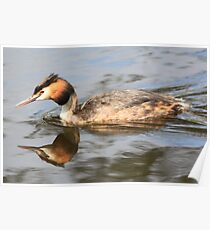 Great Crested Grebe (Podiceps cristatus) Poster
