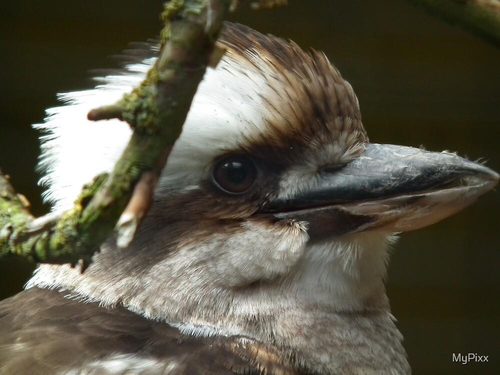 Kookaburra by MyPixx