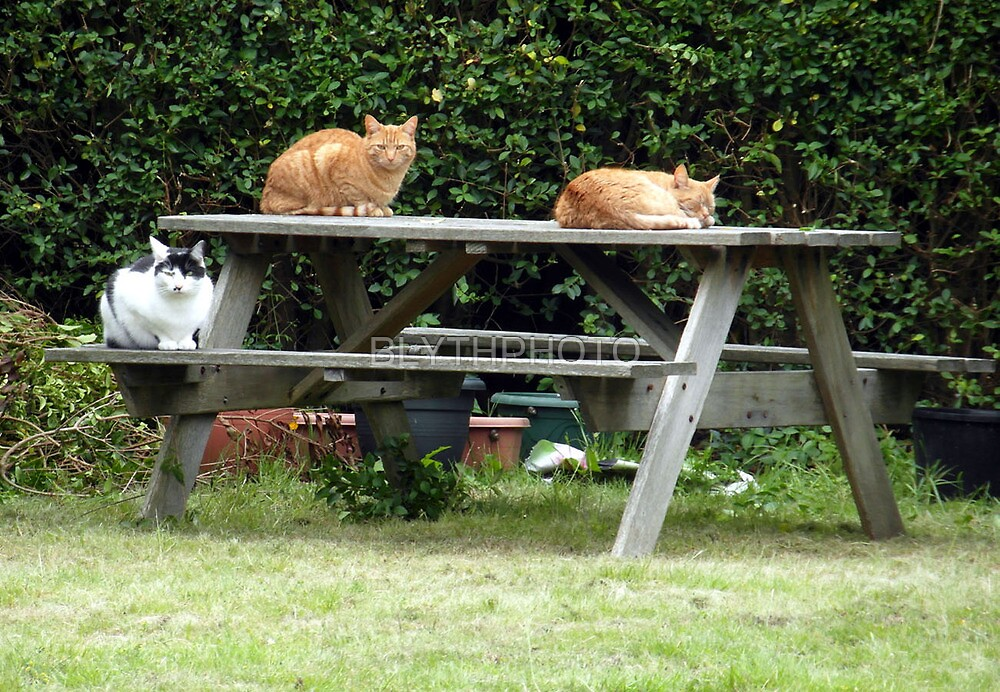 35 - A TRIO OF CATS - DAVE EDWARDS - 2012 by BLYTHPHOTO