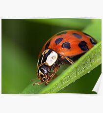 Ladybird - Ladybug - Marienkäfer - Glückskäfer Poster
