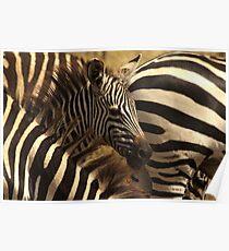 Grant's zebras, Ngorongoro, Tanzania Poster