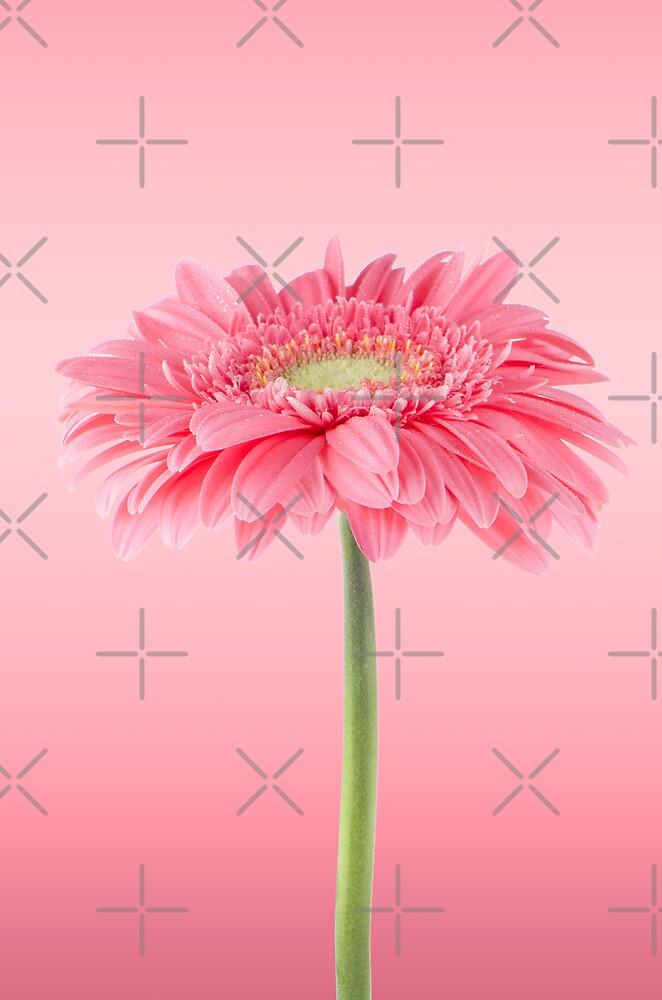 Pink gerbera daisy flower by homydesign