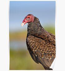 Friendly Turkey Vulture. Poster