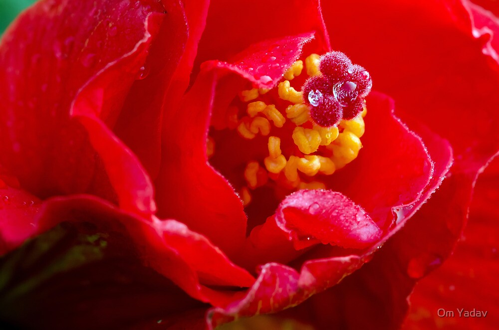 Hibiscus center with water drop by Om Yadav