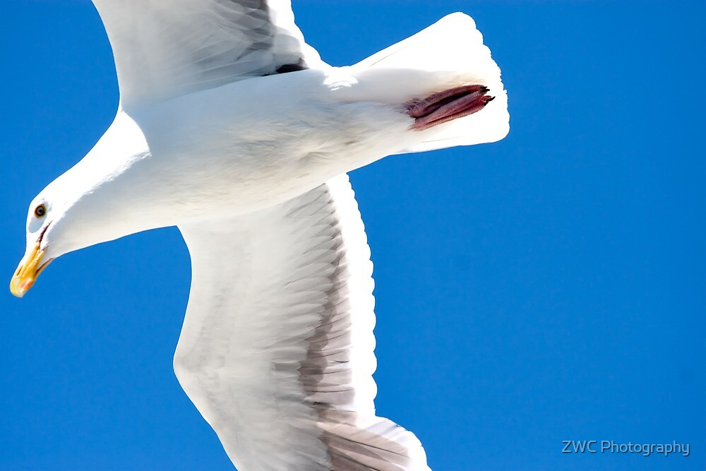 Gull in flight by ZWC Photography
