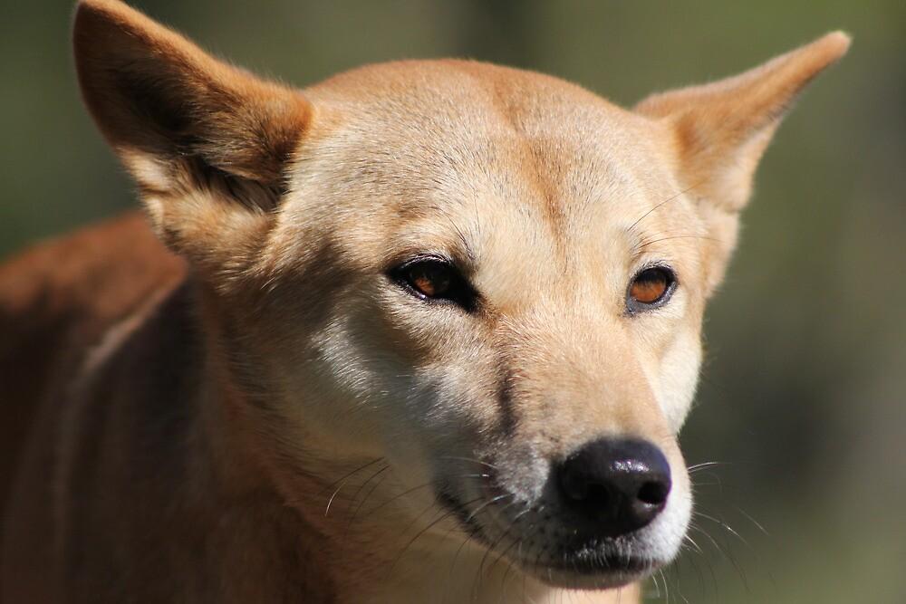 Dingo by knelliec