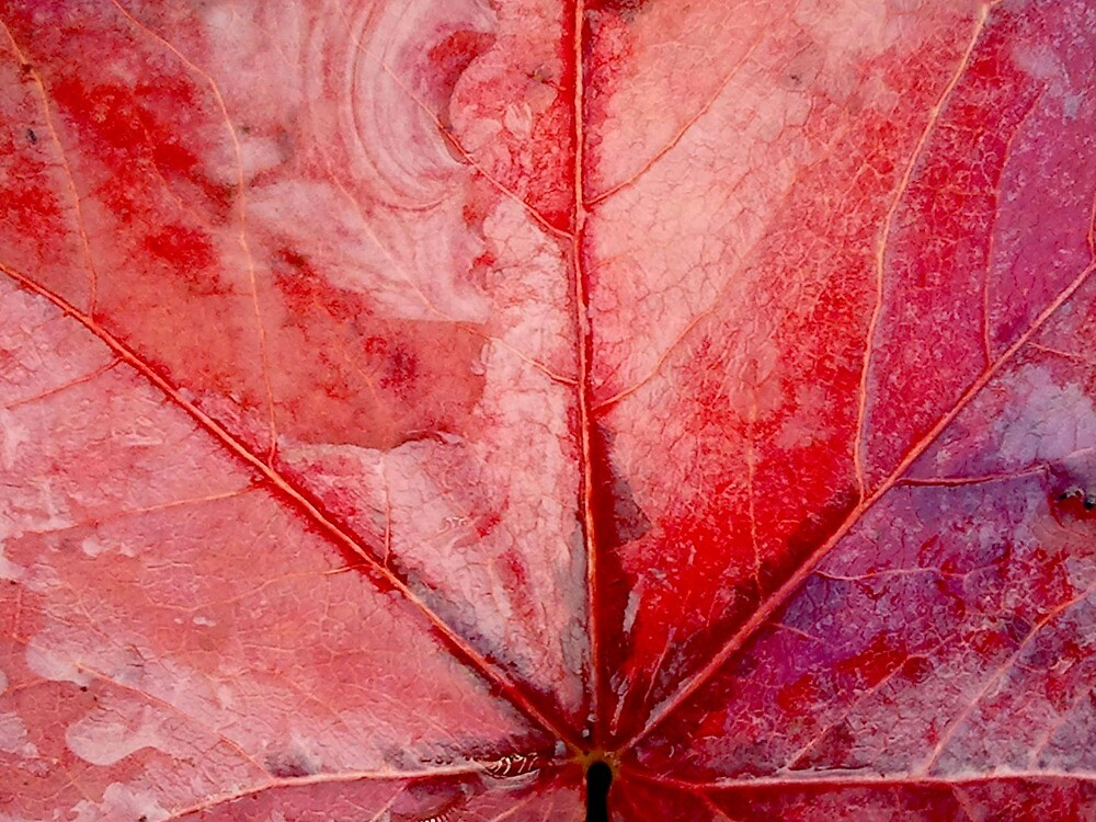 Bright Red Autumn Leaf by kahoutek24