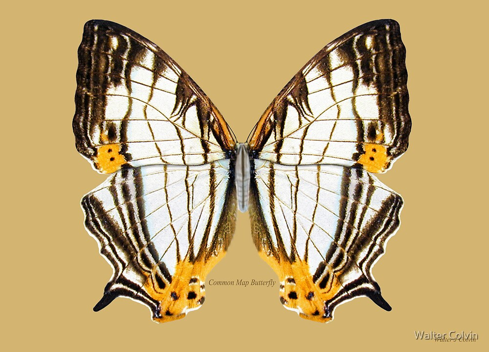 Common Map Butterfly by Walter Colvin