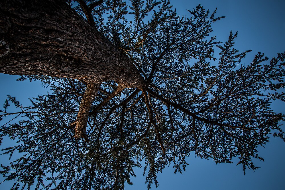 Evening Light on Tree by Jules Cardinale