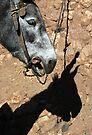 Donkey, Skoura Morocco by Debbie Pinard