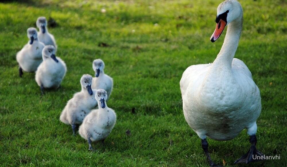 Family of Swans  by Unelanvhi