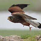 Kestral in flight by Mark Bunning