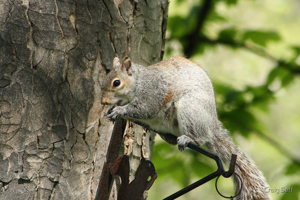 Squirrel   by Craig Seff