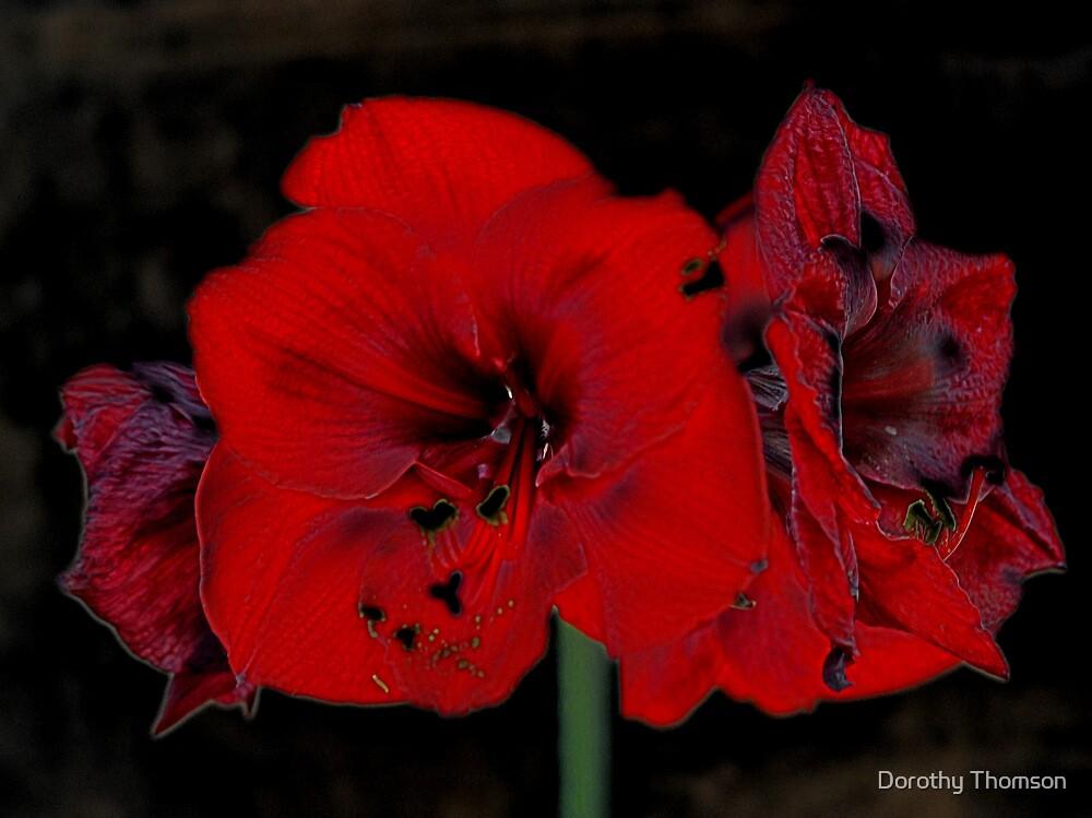 Amarylis by Dorothy Thomson