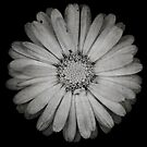 Calendula flower - textured version by Laura Melis