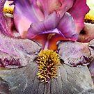 bearded iris by Acutogirl