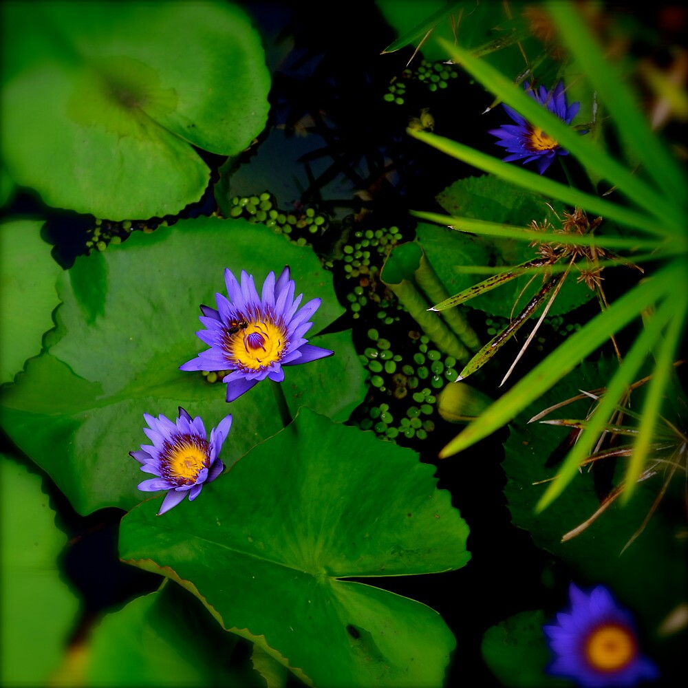 Water lily by Acutogirl