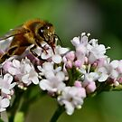 The bee of verbena by Acutogirl