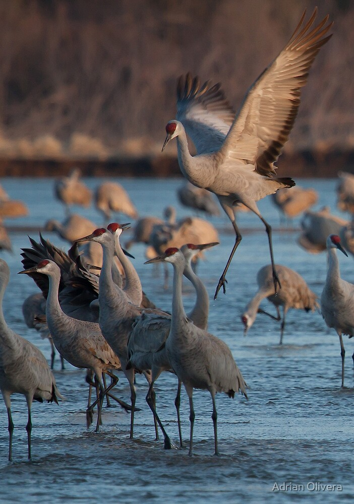 Sandhill Cranes by Adrian Olivera
