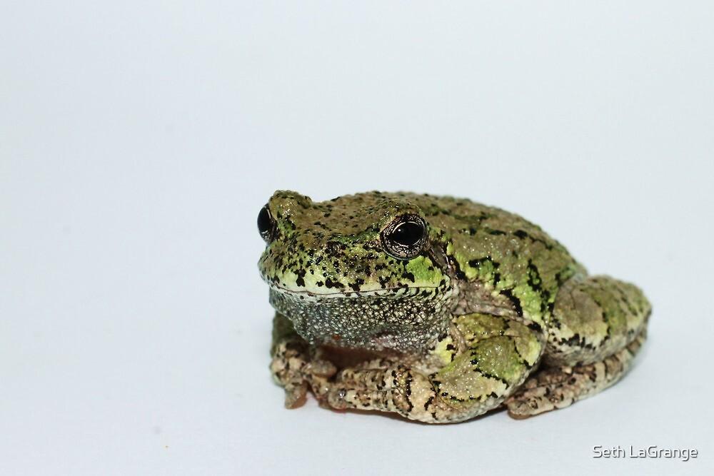 Eastern Grey Treefrog by Seth LaGrange
