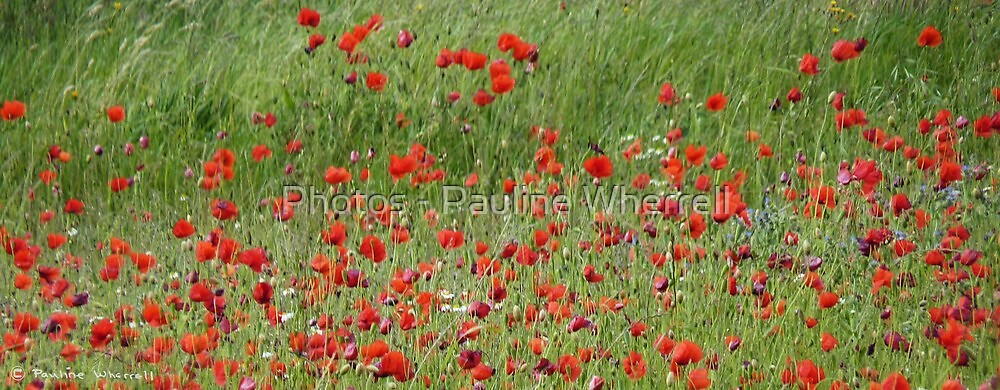 Field if wild poppies by Photos - Pauline Wherrell