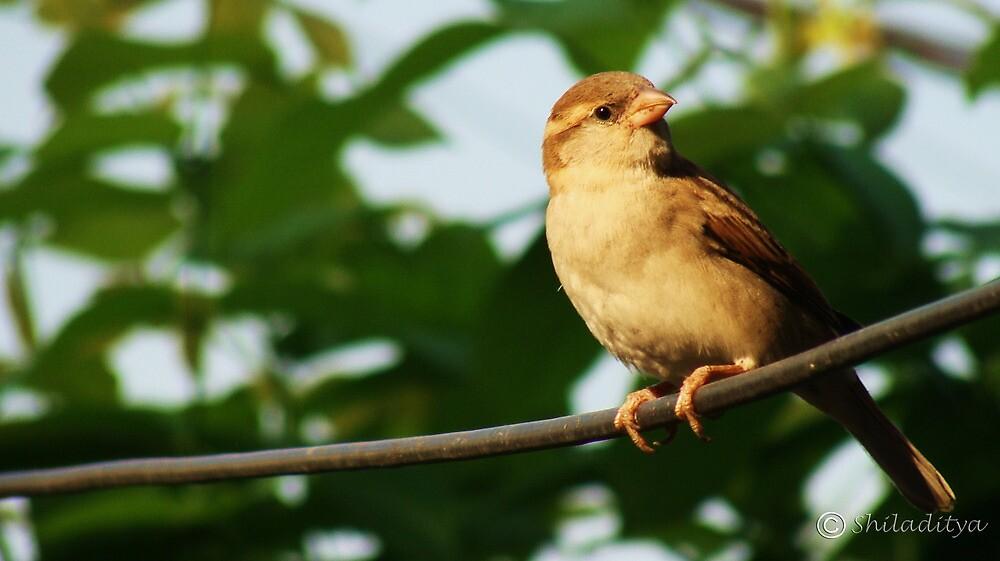 sparrow by shiladityaroy